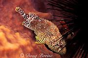 reef scorpionfish, Scorpaenodes caribbaeus, hiding in sponge under spines of sea urchin, St. Vincent or Saint Vincent, West Indies ( Caribbean Sea )