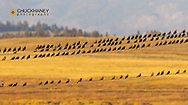 Huge flock of European Starlings on wire in the Flathead Valley, Montana, USA