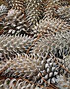 Coulter Pine Cones,near Mount Tamalpais, Marin County, California