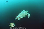 green sea turtle, Chelonia mydas, mature male (recognized by long, thick tail), is followed by batfish, Platax sp., hoping to feed on its feces, Sipadan Island, off Borneo, Sabah, Malaysia ( Celebes Sea / Western Pacific Ocean )