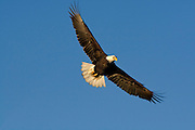 Bald Eagle, Haliaeetus leucocephalus, flying, Kenai Peninsula, Homer Spit, Homer, Alaska. Digital original #2006_1092 ©Robin Brandt