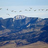 Canada Geese fly towards the Bridger Mountains.
