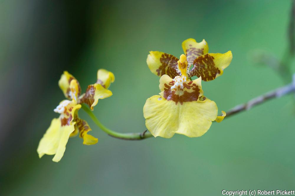 Orchid, Oncidium stipitatum, Panama, Central America, Gamboa Reserve, Parque Nacional Soberania