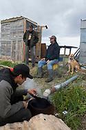 Rökning av lax vid en fiskestuga utanför Nome.<br /> Numer måste de kontrollera extra noga så att insekter inte lägger ägg i fisken. <br /> Alaska, USA<br /> <br /> Fotograf: Christina Sjögren<br /> <br /> Photographer: Christina Sjogren<br /> Copyright 2018, All Rights Reserved