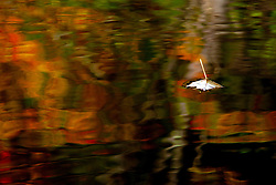 A Red Maple leaf floats stem-up on fall colored reflections in a Massachusetts pond.