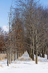 Several rows of trees planted in parallel appear to make the perfect outdoor wedding aisle.  This snowy scene is in rural central Illinois/
