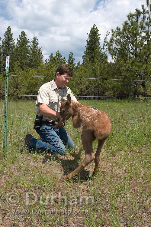 Oregon Department Of Fish And Wildlife biologist Pat Matthews disentangles a panicked, three day old rocky mountain elk calf (Cervus elaphus nelsoni) from a cattle fence in the Sled Springs Elk Research Area, Oregon.
