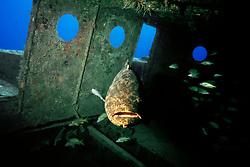 Goliath grouper or Jewfish, Epinephelus itajara, Tugboat Wreck, Key West, Florida Keys National Marine Sanctuary, Florida