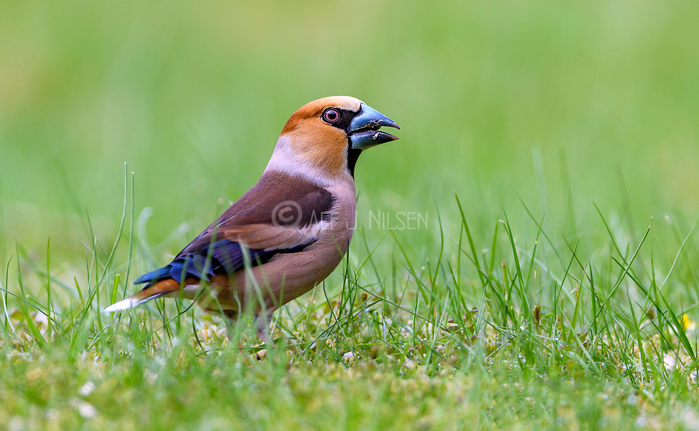 Hawfinch (Coccothraustes coccothraustes, male) from Hidra, south-western Norway in May.