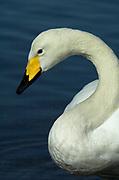 Whooper swan, Cygnus cygnus, on water, Kussharo-ko, Hokkaido Island, Japan, japanese, Asian, wilderness, wild, untamed, ornithology, snow, graceful, majestic, aquatic, .