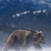 Grizzly bear in wind-blown snow in the Rocky Mountains of Montana. Captive Animal