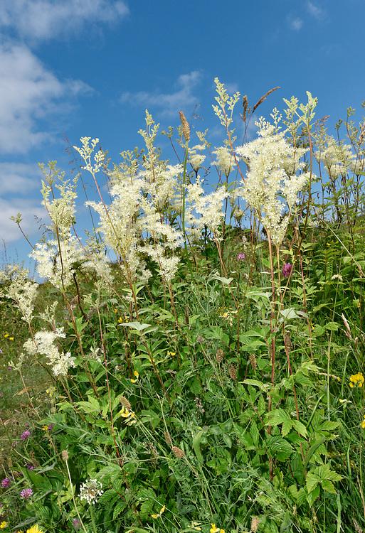 Meadowsweet - Filipendula ulmaria
