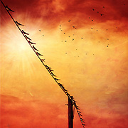 Swallows on a wire.<br /> texturized photograph.<br /> Prints & more : <br /> http://society6.com/DirkWuestenhagenImagery/birds-on-a-wire-ypn_Print