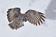 Great Grey Owl, in flight, hunting, snowstorm, spring storm,  Jackson Hole, Wyoming