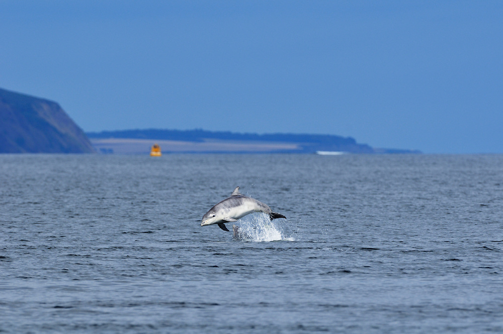 Juvenile Bottle-nosed Dolphin breaching,<br /> Tursiops truncatus,<br /> Moray Firth, Nr Inverness, Scotland - August