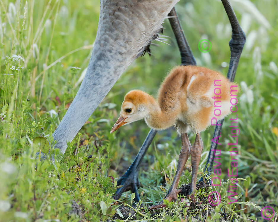 Sandhill crane colt waits near adult that is foraging in the soil in a lush green meadow in a wetland, adult's head completly into the soil, © David A. Ponton