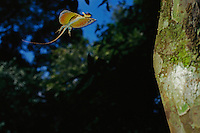 A Flying Dragon Lizard (Draco sp.) glides from tree to tree in the rain forest..Danum Valley Conservation Area, Borneo Island, Malaysia.
