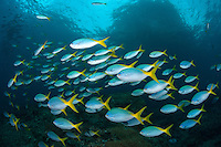 Schooling Fusiliers..Shot in Indonesia..