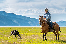 Cowboy heeling a calf for branding in Alpine Wyoming.   Keeping the west western.<br /> <br /> Not to be used for anti-ranching uses.