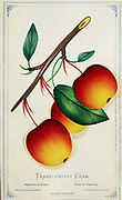 Transcendent Crabapple Tree [Here as Transcendant Crab] Apple Variety from Dewey's Pocket Series ' The nurseryman's pocket specimen book : colored from nature : fruits, flowers, ornamental trees, shrubs, roses, &c by Dewey, D. M. (Dellon Marcus), 1819-1889, publisher; Mason, S.F Published in Rochester, NY by D.M. Dewey in 1872