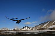 18: SVALBARD ARCTIC SKUAS