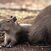 Capybara (Hydrochaeris hydrochaeris) baby in South America.