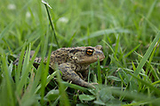 Common toad sitting in the grass on 20th June 2020 in Studley, United Kingdom. Common toads are amphibians, breeding in ponds during the spring and spending much of the rest of the year feeding in woodland, gardens, hedgerows and tussocky grassland. They are famous for their mass migrations back to their breeding ponds on the first warm, damp evenings. Common toads tend to breed in larger, deeper ponds than common frogs, but still frequent gardens.