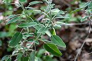 wild sage. Three-Lobed Sage, Salvia fruticosa photographed in Israel in Spring, March