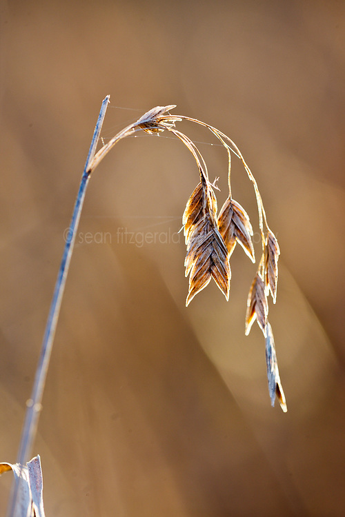 Autumn grasses, Trinity River Audubon Center, Dallas, Texas, USA.