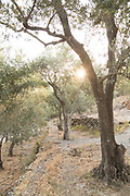 Sunset sunlight streaming through olive trees in rural scenery, Lesbos, Greece