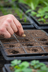 Sowing squash seeds into module tray