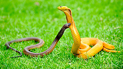 Durbanville. 160918.  The Cape cobra, also called the yellow cobra, is a moderate-sized, highly venomous species of cobra inhabiting a wide variety of biomes across southern Africa including arid savanna, fynbos, bushveld, desert and semi-desert regions. Ian Landsberg/African NewsAgency (ANA)