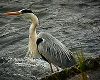 Gray Heron (Ardea cinerea). Kameyama Park, Katsura River, Kyoto, Japan. Image taken with a Nikon N1V3 camera and 70-300 mm VR lens.