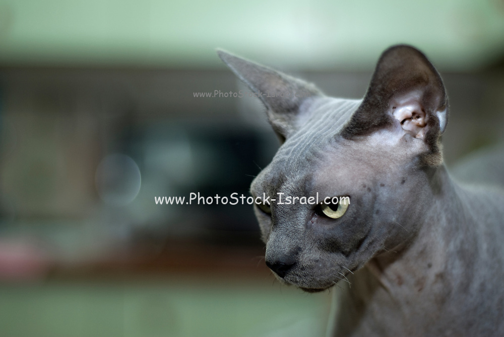Portrait of a Canadian Sphynx hairless cat