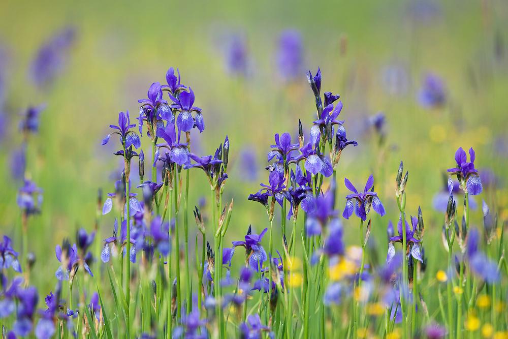 Siberian Iris, Iris sibirica, Eastern Slovakia, Europe, Sibirische Schwertlilie, Iris sibirica, Slowakei, Europa