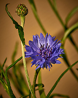 Bachelor Button (Blue Cornflower) Wildflower. Image taken with a Nikon D800 camera and 105 mm f/2.8 macro lens (ISO 100, 105 mm, f/11, 1/400 sec).
