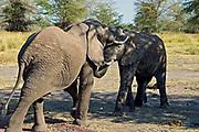 Young African Elephants (Loxodonta africana) fighting in Lake Manyara NP, Tanzania.