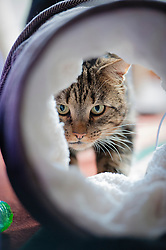 Male tabby cat, formerly feral, now adopted, playing in a cat tunnel.<br /> Photo: Ed Maynard<br /> 07976 239803<br /> www.edmaynard.com