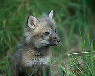 Red fox kit, 6 weeks old, sitting, [captive, controlled conditions] , © David A. Ponton