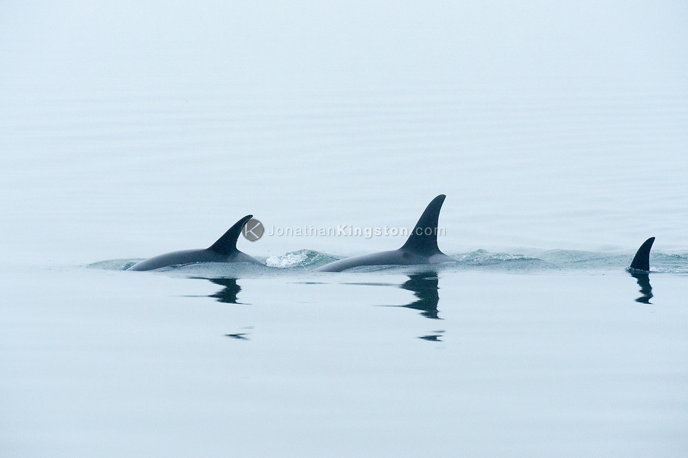 Three killer whales (Orcinus orca) swim in the waters of Glacier Bay National Park, Alaska.