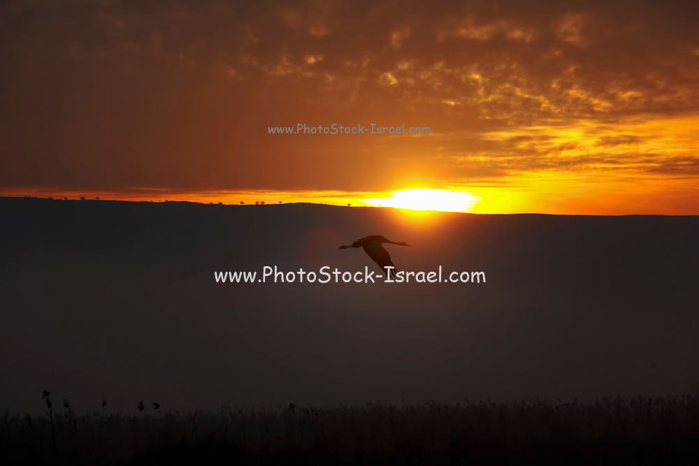 Common crane (Grus grus) Silhouetted on a golden sun-set. Large migratory crane species that lives in wet meadows and marshland. It has a wingspan of between 2 and 2.5 metres. It spends the summer in northeastern Europe and western Asia, and overwinters in north Africa. It feeds on vegetation, insects, frogs and snakes. Photographed in the Hula Valley, Israel, in January