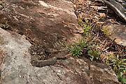 Timber Rattlesnake (Crotalus horridus) - Black morph<br /> MANIPULATED<br /> near hibernation den<br /> Northern Georgia<br /> USA<br /> HABITAT & RANGE: Deciduous forests in rugged terrain and open, rocky ledges. Eastern USA