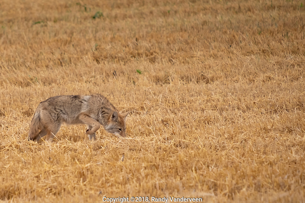 Photo Randy Vanderveen<br /> Grande Prairie, Alberta<br /> 2018-09-26<br /> A coyote intently crosses and backtracks across a LaGlace area field as it hunts for a bite of lunch Wednesday. While coyotes and foxes aren't appreciated by livestock and poultry producers, the wild canines do help control the population of mice, voles and shrews across the Prairies.