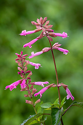 Salvia 'Kisses & Wishes' (Kernock)