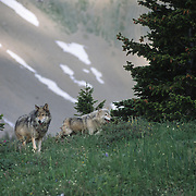 Gray Wolf (Canis lupus) male and alpha female in southwest Montana. Captive Animal