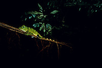 An agamid lizard sleeps on a slender twig, where it can detect an approaching predator easily at night.