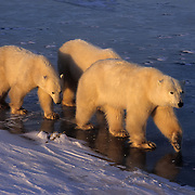 Polar Bear (Ursus maritimus) mother and cubs on Hudson Bay, Canada.