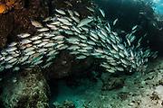 Gray Snapper (Lutjanus griseus)<br /> Hol Chan Marine Reserve<br /> near Ambergris Caye and Caye Caulker<br /> Belize<br /> Central America