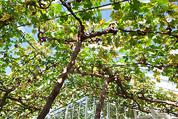 Vitis vinifera 'Muscat of Alexandria' grapes growing in the glasshouse at Chatsworth