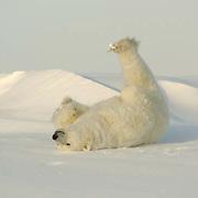 Polar Bear (Ursus maritimus) a large rolling in the snow after a nap at  Cape Churchill, near Churchill, Manitoba. Canada, November.